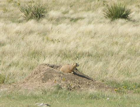 prairie dog at the Smoky Valley Ranch