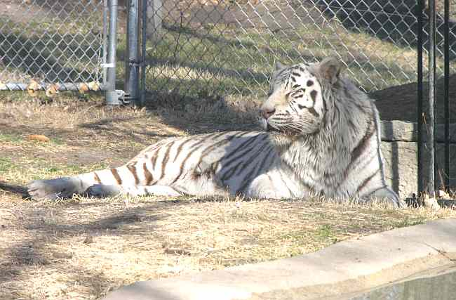 white Bengal tiger in Brit Spaugh Zoo