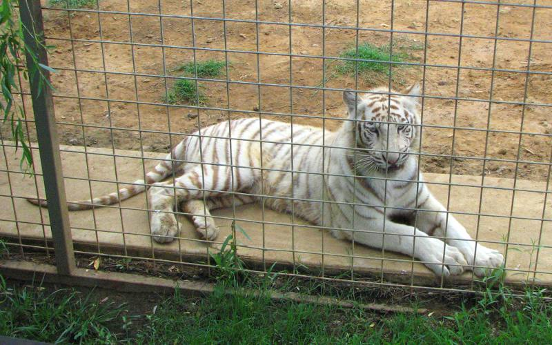 White Bengal Tiger at Safari Zoological Park in Canery