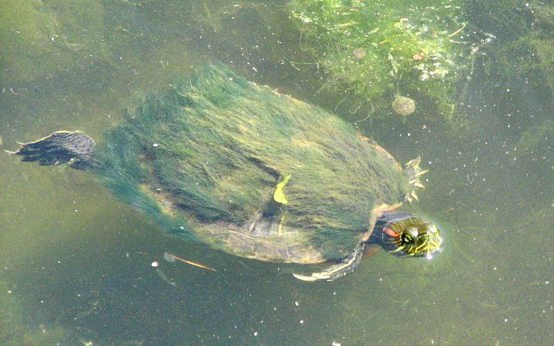 red eared slider turtle at  at Safari Zoological Park