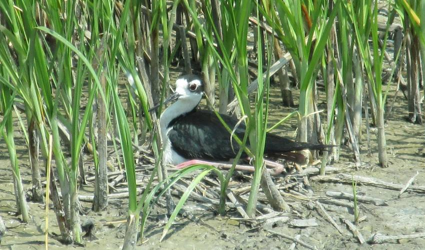 Black-necked Stilt at Cheyenne Bottoms
