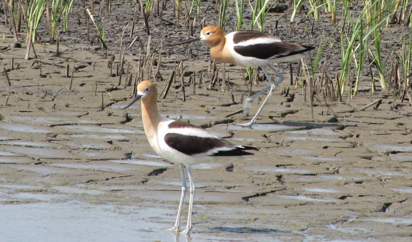 American Avocet at Cheyenne Bottoms