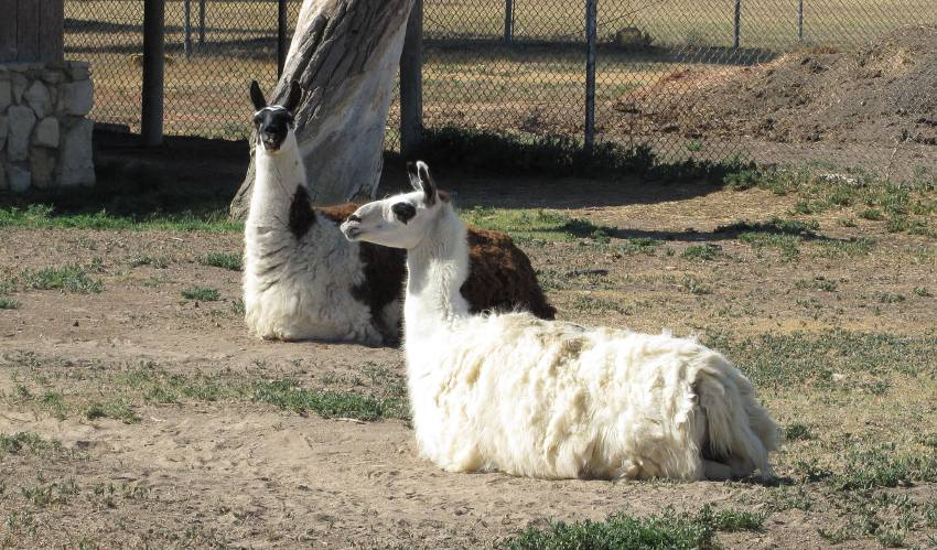 LLamas in the Wright Park Zoo - Dodge City