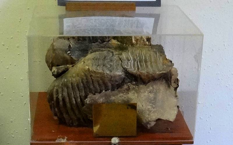 mammoth jaw and teeth fossil