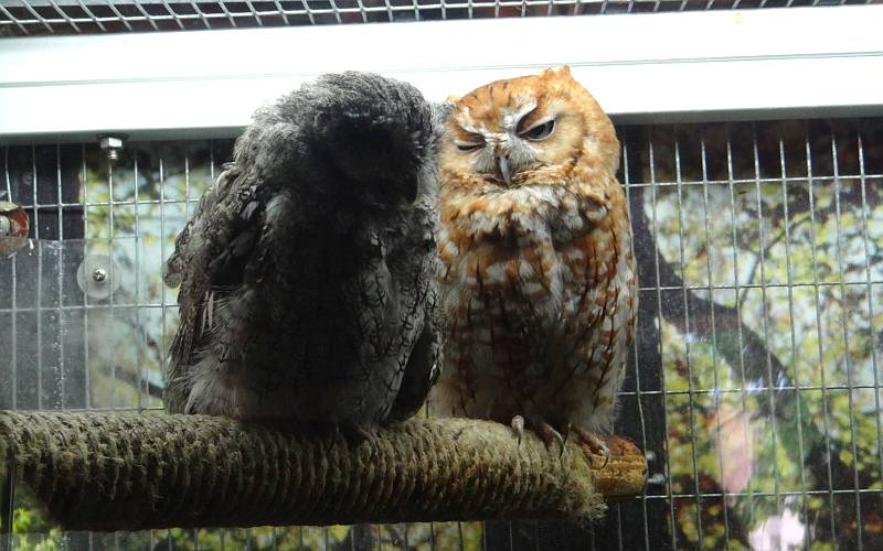 Eastern screech owls at Milford Nature Center