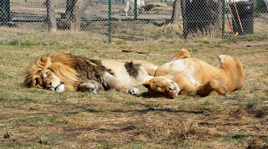 African lions at Cedar Cove Park