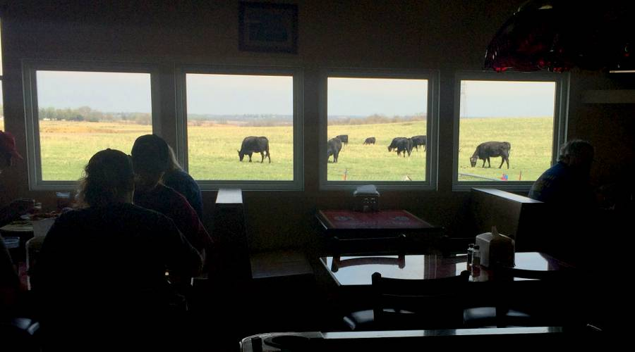 Dinning room view of cows