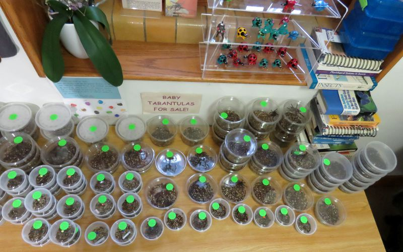Insect Zoo Gift Shop - Baby Tarantulas for sale