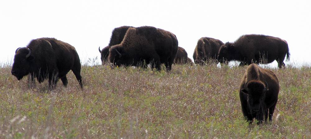 buffalo at Maxwell Wildlife Refuge